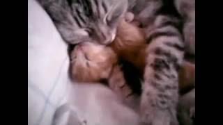 Котёнок спит с мамкой, милота