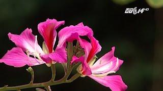 (VTC14)_Hoa ban Tây Bắc nở giữa mùa đông Hà Nội thumbnail
