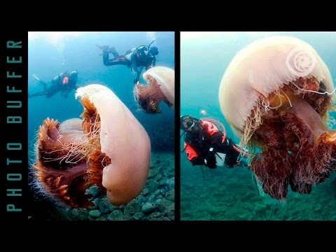 THE BIGGEST JELLYFISH IN THE WORLD
