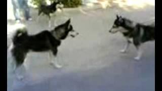 Gölge & Efe kapışması sibirya kurdu husky