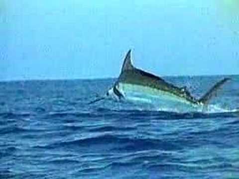 Marlin vs swordfish - photo#26