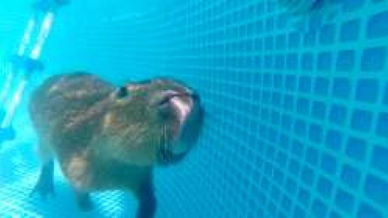 Capybara swimming in the pool - YouTube