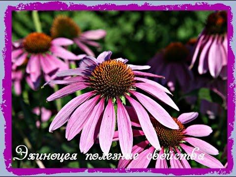 Эхинацея: описание, выращивание, уход и использование