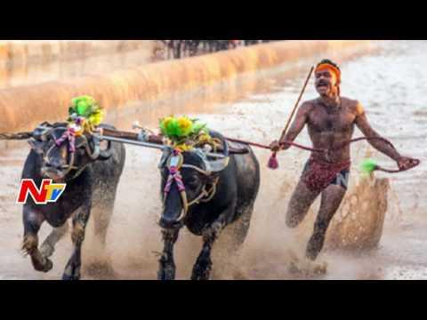 Karnataka Govt Legalise the Bull Racing Sport Kambala || NTV