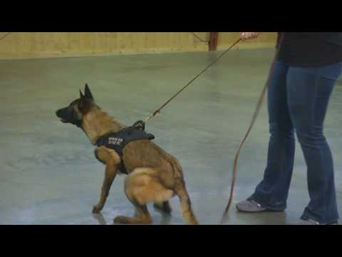 Young Malinois Female 'Maze' 7 Mo's Early Protection Development Home Protection Dog For Sale