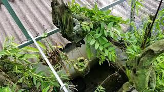 Sử dụng trichoderma để phòng bệnh cho lan trong mùa mưa