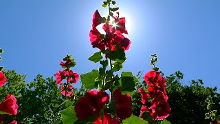 red flowers with sun behind them