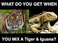 TIGER & IGUANA = 2018 VW Tiggy (Tiguan) LOL