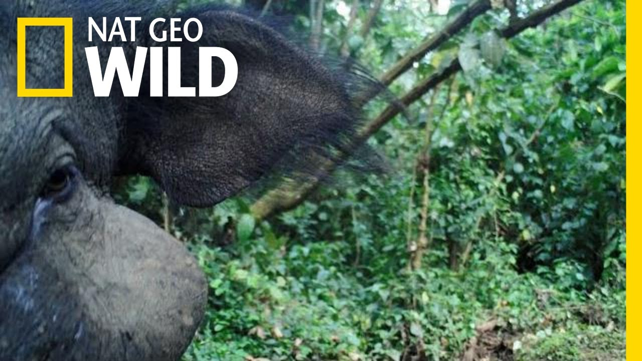 Mysterious Giant Forest Hog: Rare Footage | Nat Geo Wild