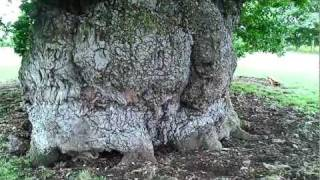 The OLDEST OAK TREE in Europe !!!