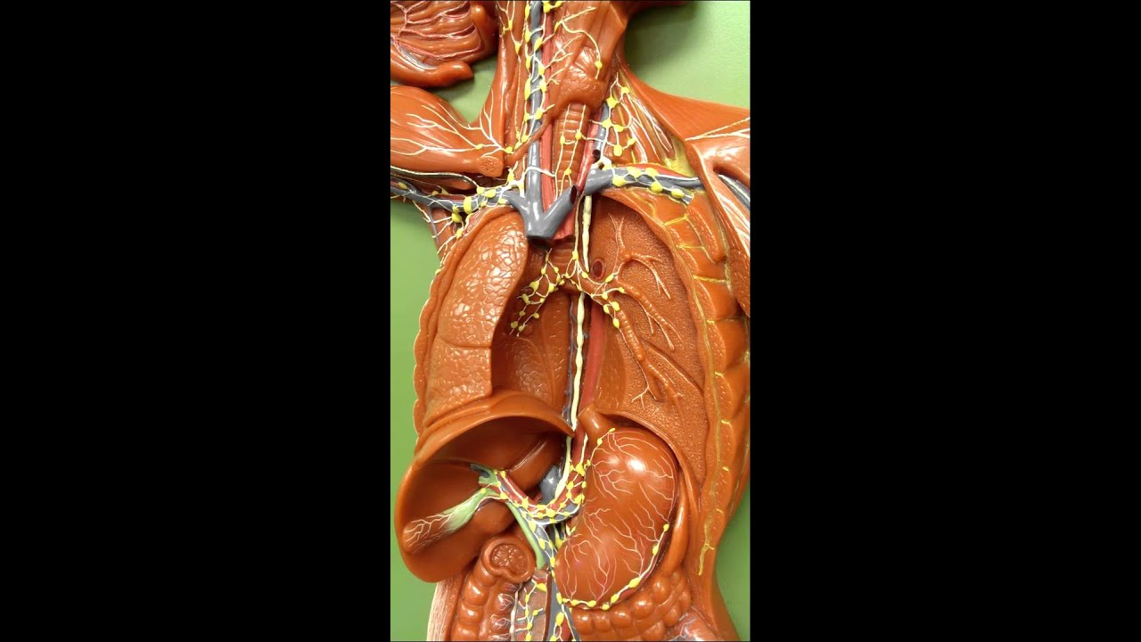 lymphatic system overview lymphatic model youtube
