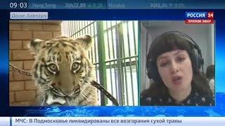 В Барнауле тигр напал на школьницу(В воскресенье поздно вечером тигр из барнаульского зоопарка