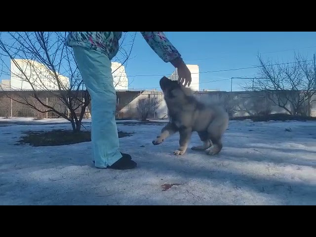 Caucasian Shepherd Dog  Male #1 for sale (3 months)