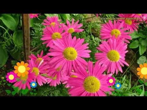 Пиретрум розовый Бренда. Краткий обзор, описание характеристик pyretrum roseum Brenda