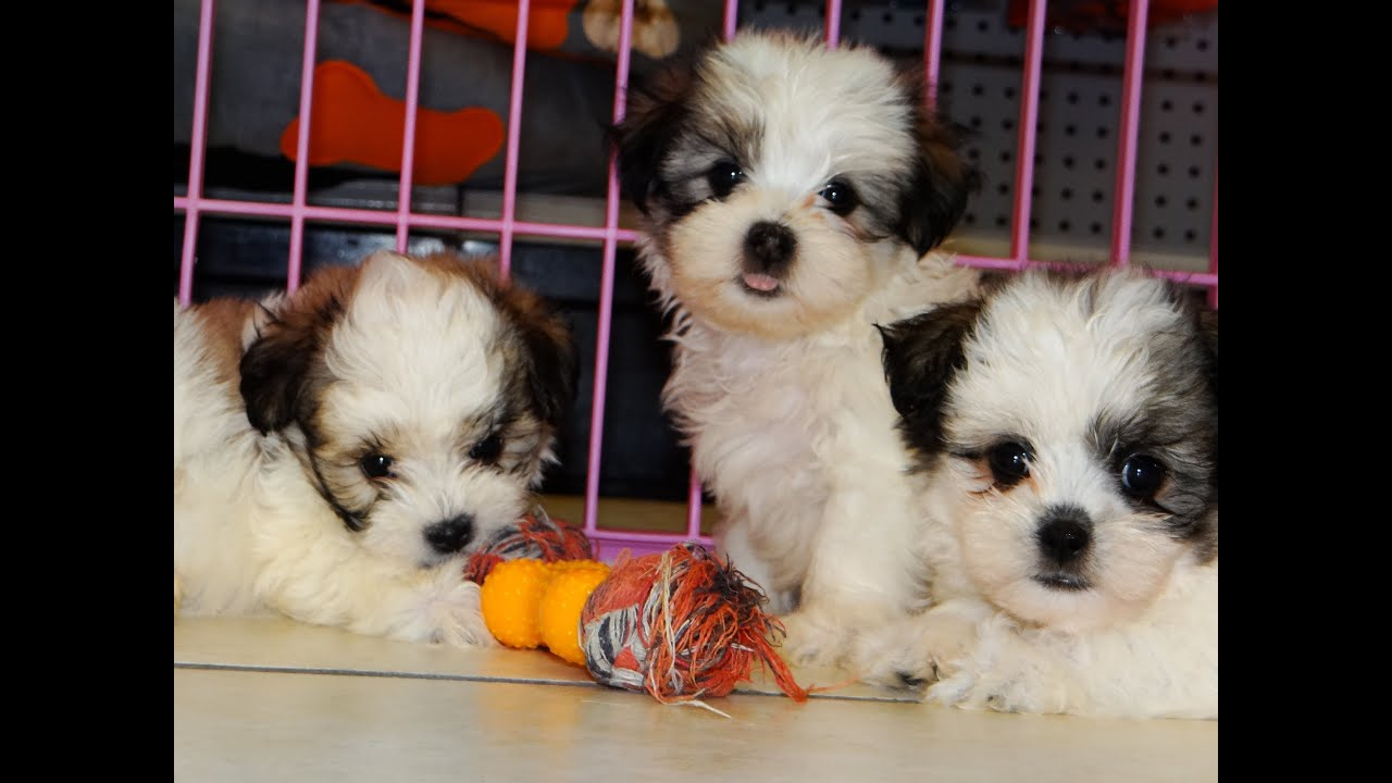 Malti Tzu Puppies Dogs For Sale In Atlanta Georgia GA