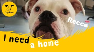 Reece the handsome American Bulldog | Dogs Trust Manchester