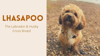 Lhasapoo  The Amazing mix of Lhasa Apso and a Poodle or Miniature Poodle