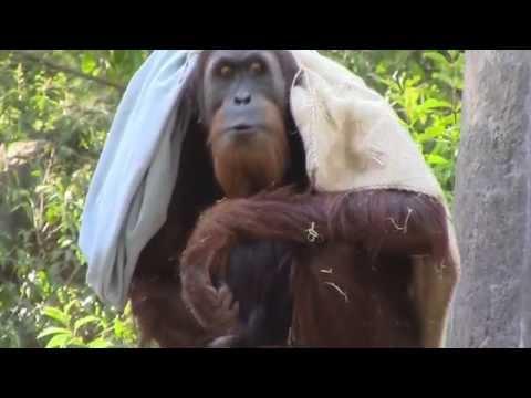Sumatran Orangutans - Sacramento Zoo