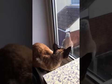 Devon Rex Cat and Pidgeon