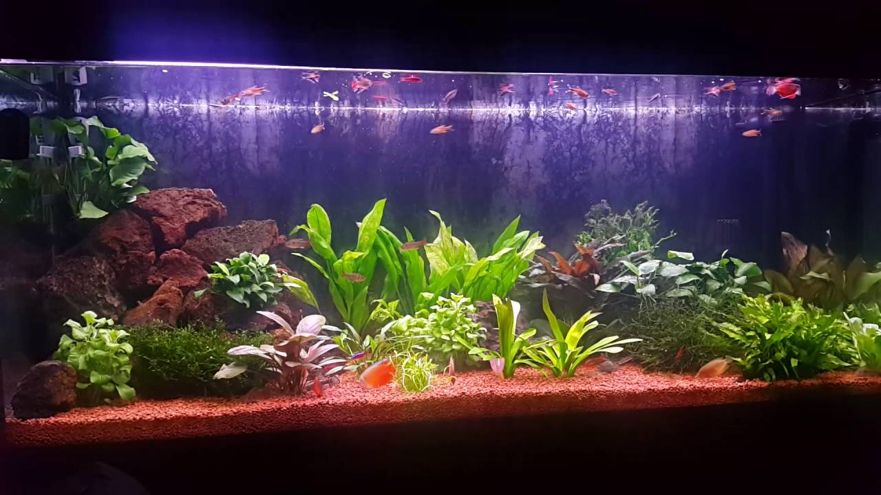 Fluval roma 240 aquarium fish tank - Fluval Roma 240 Planted Aquarium Tropical Fish Feeding Time Time Lapse