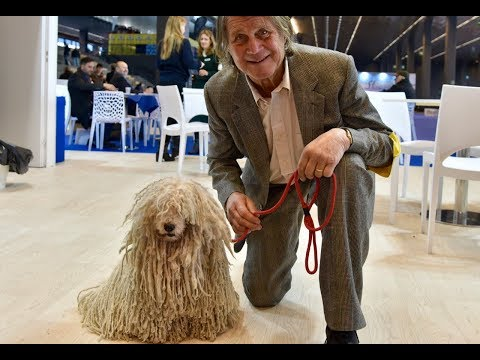 Puli dog - Liguria Dog Show 2019