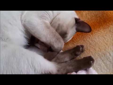 OUR LOVELY SIAMESE CAT ALEX
