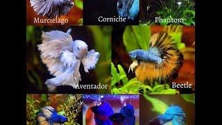Рыбка петушок подборка самых красивых видов