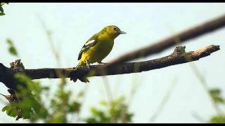 Aneka Suara Nyanyian Ocehan Kicauan Burung Untuk Masteran Cipo