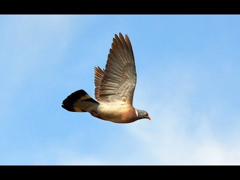 The Shooting Show – winter oilseed pigeon control with Geoff Garrod