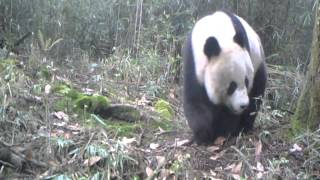 Camera trap footage of a Giant Panda scenting a tree in Anzihe Nature Reserve, Sichuan, China