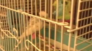 Parakeet with broken leg
