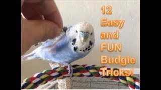 A Dozen EASY and FUN Budgie Tricks!