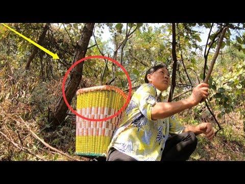 滿山的野生獼猴桃沒人要,農村大姐背著背簍山上,摘到手發軟 獼猴桃【貴州李俊】