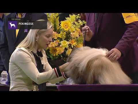 Pekingese | Breed Judging 2019