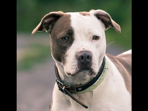 Πιτμπουλ - American Pitbull Terrier Greek Documentary