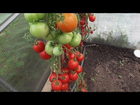 КАКИЕ СОРТА ТОМАТОВ ИДЕАЛЬНЫ ДЛЯ ТЕПЛИЦ. Ольга Чернова. | выращивать | огородная | чернова | теплицы | теплице | томаты | азбука | сорта | ольга | какие