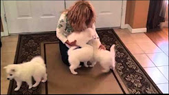 American Eskimo Puppies for Sale in FL