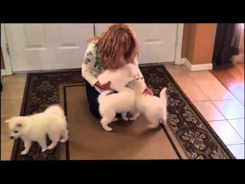 American Eskimo Puppies for Sale in FL