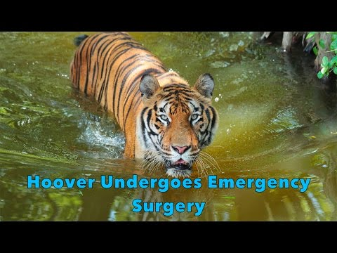Hoover Tiger Undergoes Emergency Surgery