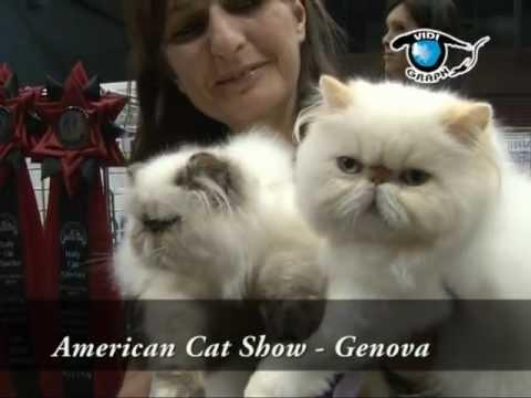 The  American Cat by Piero Frattari  - (CFA)  Italy - Genova