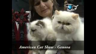 The  American Cat by Piero Frattari  - (CFA)  Italy - Genova