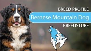 Bernese Mountain Dog Breed, Temperament & Training