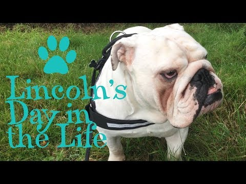 Lincoln's Day in the Life video | ENGLISH BULLDOG