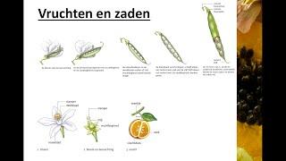 Bloemen, vruchten en zaden  - Vruchten en zaden