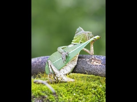 Greatest Photographer Catches Dragon Lizard Playing Leaf Guitar In Indonesia Of All Time
