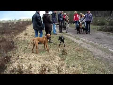 Chester meets lots of other Manchester Terriers