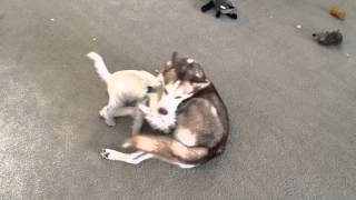 Husky Viciously Attacked By A West Highland White Terrier! Warning! Viewer Discretion Is Advised.