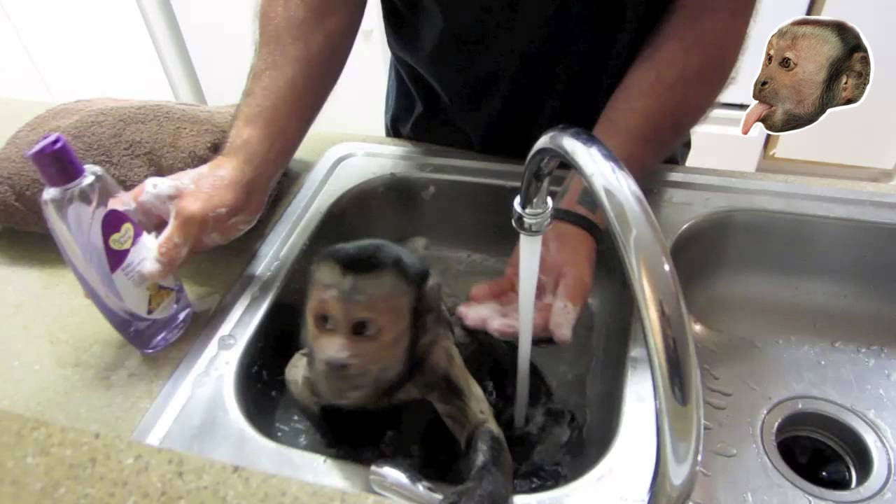 capuchin monkey bath youtube