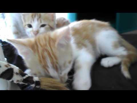 Chatons Stérilisés à L'adoption Chats Du Quercy