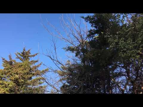 American Elm samaras (winged seeds) floating like snowflakes, March 2017, Stillwater, OK, USA.